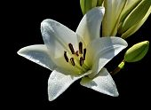 One Flower Of White Lily With Droplets Of Water