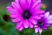 Purple Flower Of Osteospermum