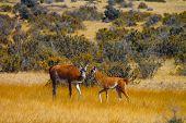 Lamas walking...