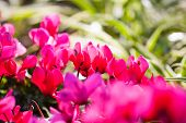 image of begonias  - beautiful begonias flower in the garden . ** Note: Shallow depth of field - JPG