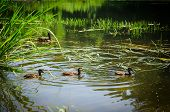 picture of duck pond  - Ducks swimming in pond in summer day