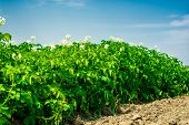 foto of potato-field  - potatoes field on the sunny day in the summer