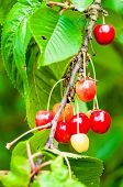 Red And Sweet Cherries On A Branch Just Before Harvest