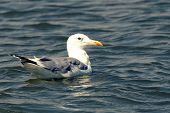 The Swimming Seagull