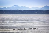 Ducks in Puget Sound