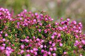 Pink Mountain Heather