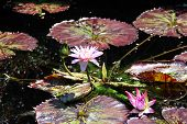 Lily pads and beautiful flowers