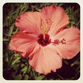 instagram of hibiscus flower closeup in tropical setting