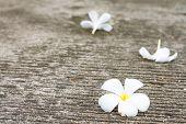 Plumeria flowers drop on the floor