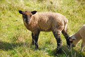 image of suffolk sheep  - Spring lambs and sheep in a pasture in the Umpqua Valley near Roseburg - JPG