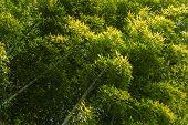 Green bamboo in Arashiyama, Japan.