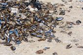 Mussels On The Shore