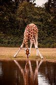 African Giraffe Drinking Water