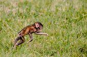 Berber Baby Monkey
