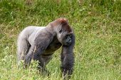 Gorilla On A Grass Field