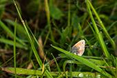 Coenonympha Pamphilus Butterfly
