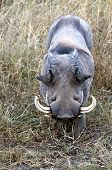 picture of tusks  - Portrait of a warthog.  This animal is one of the favorite preys of the lion, but its tusks serve as powerful weapons to deter the predators.