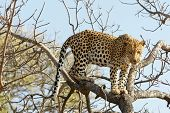 picture of leopard  - Portrait shot of a African Leopard in a tree - JPG