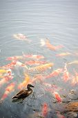 Plenty of carp fish in the pond