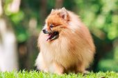 Pomeranian Dog Relaxing On Green Grass In The Garden