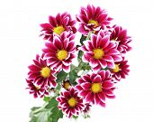 beautiful chrysanthemum flowers, isolated on white