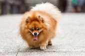 Pomeranian Dog Walking On Concrete Road In The Garden
