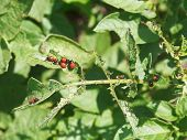 picture of potato bug  - colorado potato beetle caterpillar eating potatoes leaves in garden - JPG
