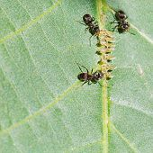 image of aphid  - three ants tending aphids group on leaf of walnut tree close up