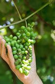 Male Hand Holds Bunch Of Green Grapes