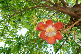 picture of cannonball-flower  - Red Cannonball  flower panicle from the tree - JPG