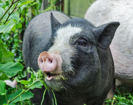 stock photo of pot-bellied  - Black and white vietnamese pot bellied pig - JPG