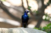 Blue-eared glossy Starling looking left poster