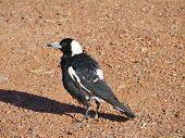 The Magpie-lark is native to Australia
