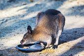 Parma Wallaby Feeding