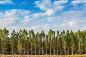 pic of eucalyptus trees  - Eucalyptus tree forest in Thailand plants for paper industry - JPG
