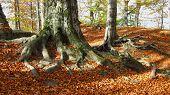 beech forest on sunny autumn day