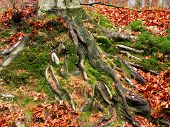 roots of a stump