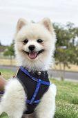 Pomeranian dog sit and stare
