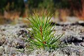 Small Pine