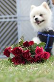 Pomeranian dog sit and stare with red roses.