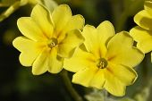 false Oxlip Primula X polyantha