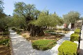 pic of gethsemane  - Old olive trees in the garden of Gethsemane on the mount of olives in Jerusalem - JPG