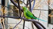 Rose-ringed Parakeet Sitting On Tree