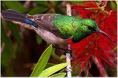 Cape Sun Bird