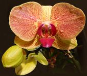 image of marsala  - Closeup on an orange spotted orchid with a Marsala red center petal