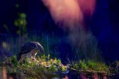 stock photo of goshawk  - Northern goshawk on the ground with magical colors - JPG
