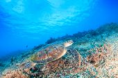 picture of green turtle  - Green Turtle swimming over a tropical coral reef - JPG