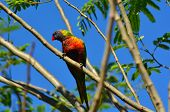 picture of lorikeets  - One Native Australian Rainbow Lorikeet sit on a tree.