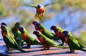 pic of lorikeets  - Flock of Native Australian Rainbow Lorikeet gathering together.