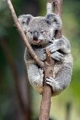 picture of eucalyptus trees  - Baby cub Koala  - JPG
